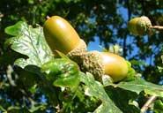 acorn_w185